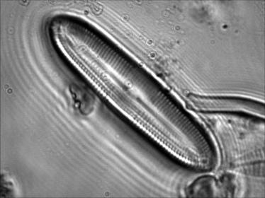 Cal bacillum 100 UV 2